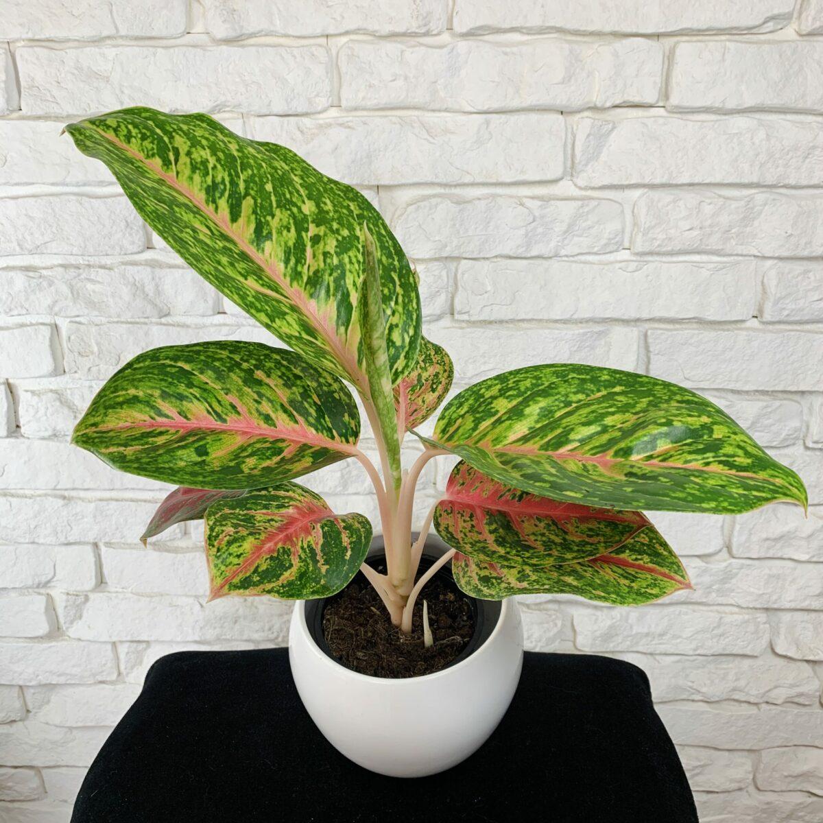 Aglaonema Hollywod | Kwiatowy Dom - sklep internetowy z roślinami domowymi